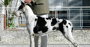 Great Danes in Illinois