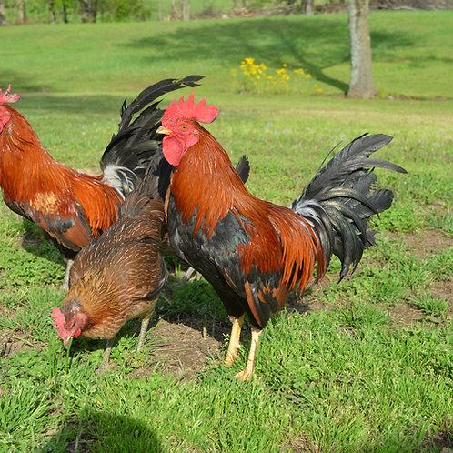 """Laughing Chicken """"Ayam Ketawa"""""""