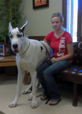 Great Dane Dogs for Sale in IL