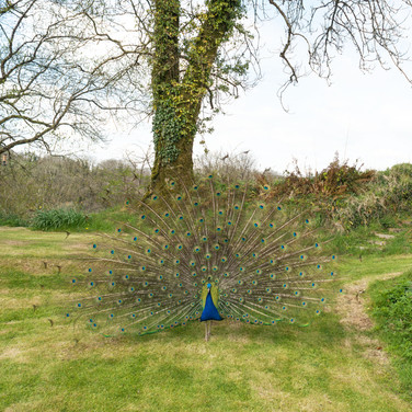 Peacock - Wildlife Carmarthenshire Farm