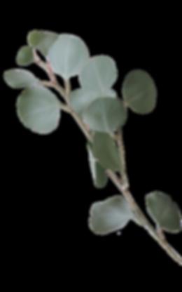 Eucalyptus 2 (fritskrabet) - Kopi.png
