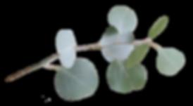 Eucalyptus (fritskrabet).png