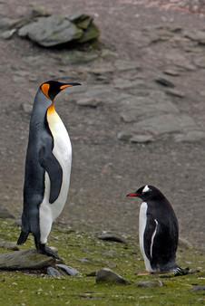 Pingüino rey.jpg