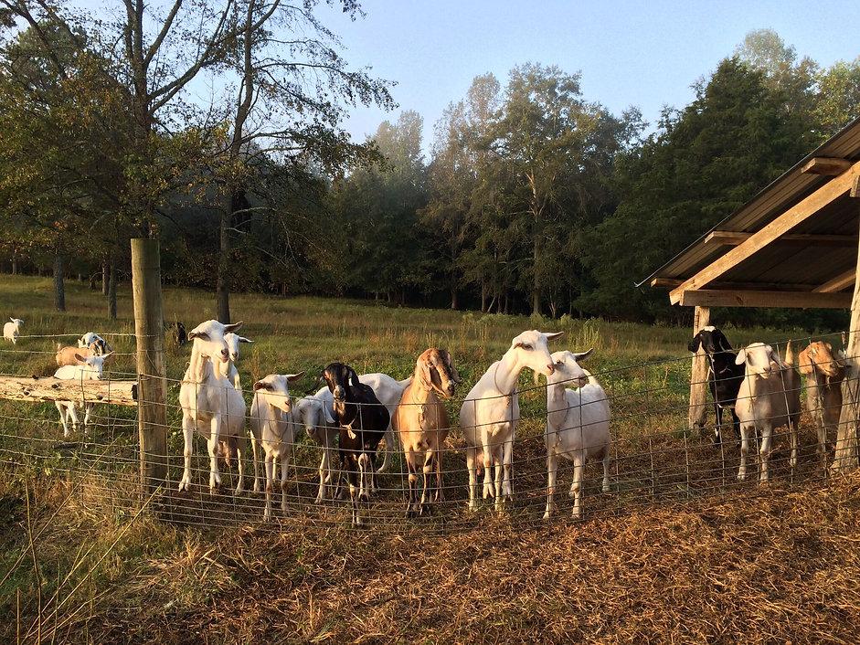 Bulger Creek Farm Dairy Goats, Nubian, Saanen, Alpine