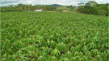 Mandioca, a raiz do Brasil