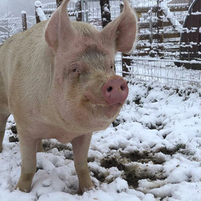 Schweineglück im Schnee! 🍀