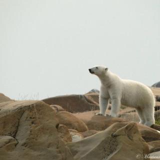 Polar bear in Churchill by Marianne Falardeau -2015-
