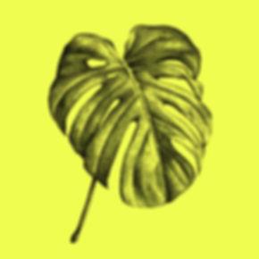 Palme_Monstera-Deliciosa_linden_Illustra