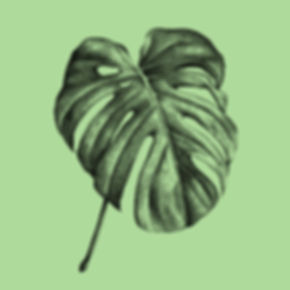 Palme_Monstera-Deliciosa_green_Illustrat