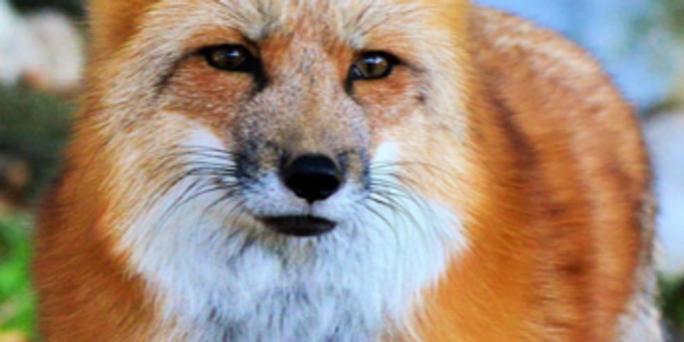 Fox on Suede Board