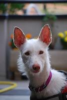 perro adoptado podenco campanero aire