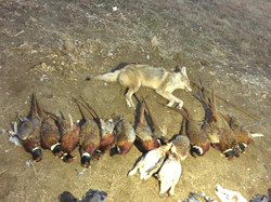 pheasants, coyote, sharp tail grouse
