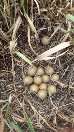 pheasant nest and eggs