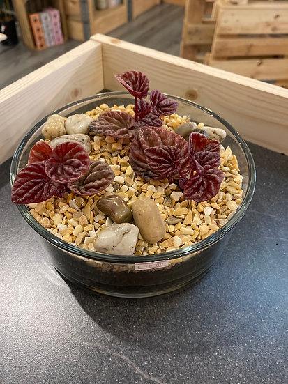 Peperomia open terrarium