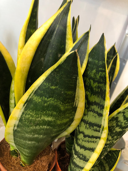 12cm snake plant