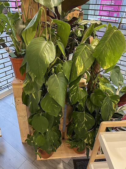 21cm Devils ivy on moss pole