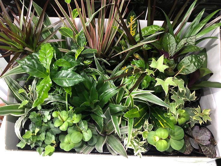 8cm houseplant mix