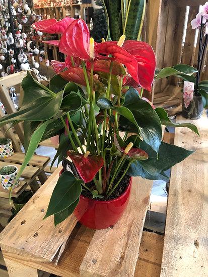 Red anthurium in red ceramic