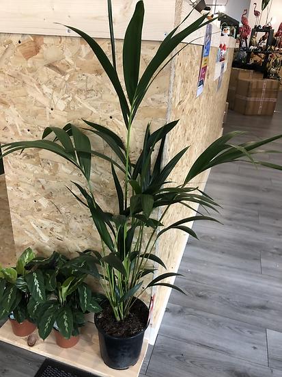 21cm Palm