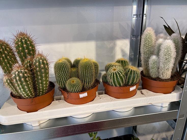 12cm cacti mix