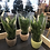 Thumbnail: Peace lilly in ceramic pot