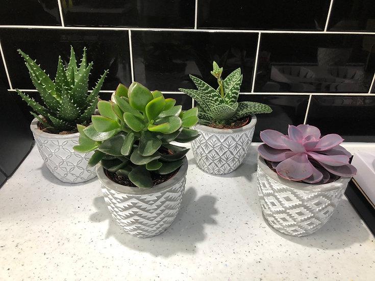Succulent mix geo pots