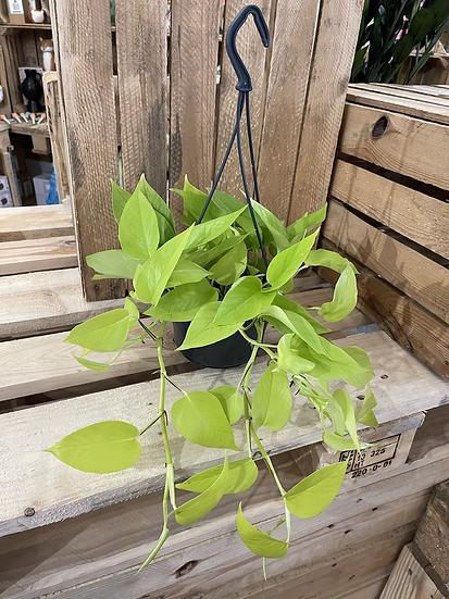 Lime pothos devils ivy hanger