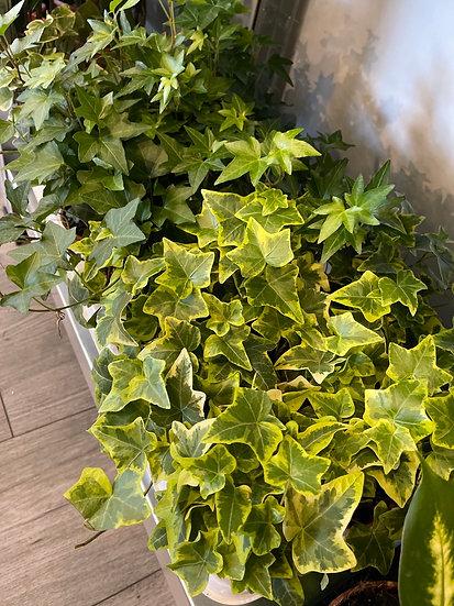 9cm ivy mix