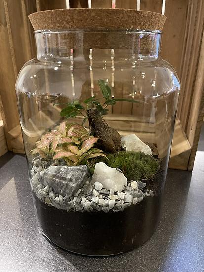 5L terrarium with baby bonsai/pink fittonia