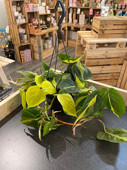 Hanging philodendron brazil