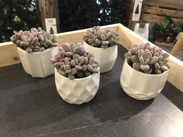Succulent in oslo pot