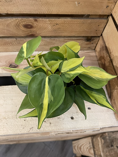 12cm philodendron brazil