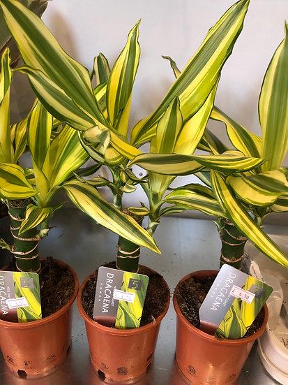 11cm dracaena yellow