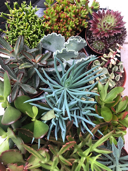 8cm Succulent mix