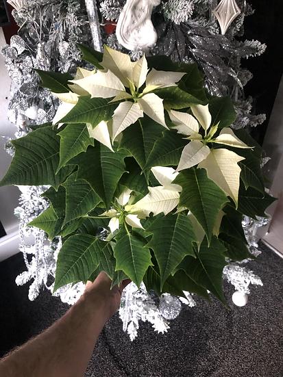 15cm white poinsettia