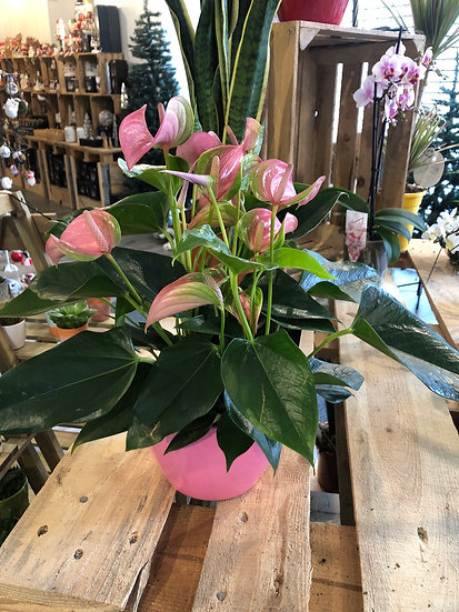 Pink anthurium in pink ceramic