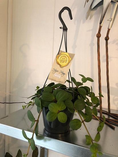 Hanging peperomia hope