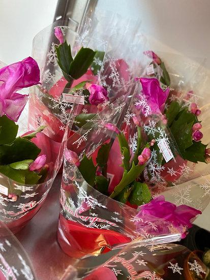 8cm flowering cacti