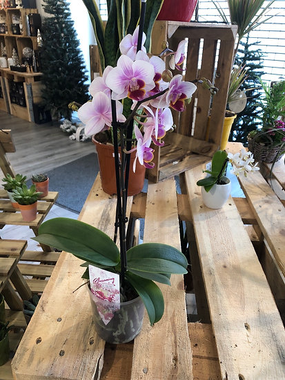 12cm mixed mini flower orchid