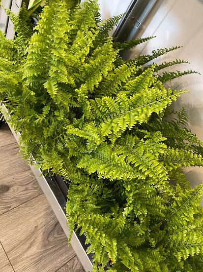 12cm fluffy fern