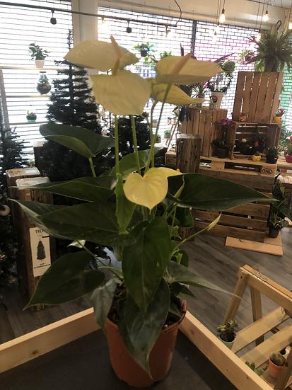21cm Large Anthurium