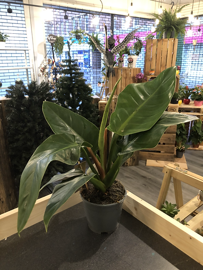 14cm Philodendron mix