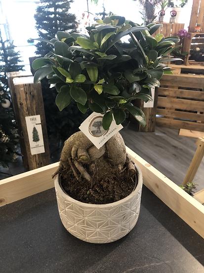 HUGE Ficus Ginseng bonsai geo