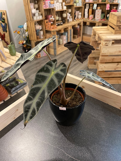 Alocasia polly in black