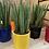 Thumbnail: Sansevieria cylinder in ceramic pot