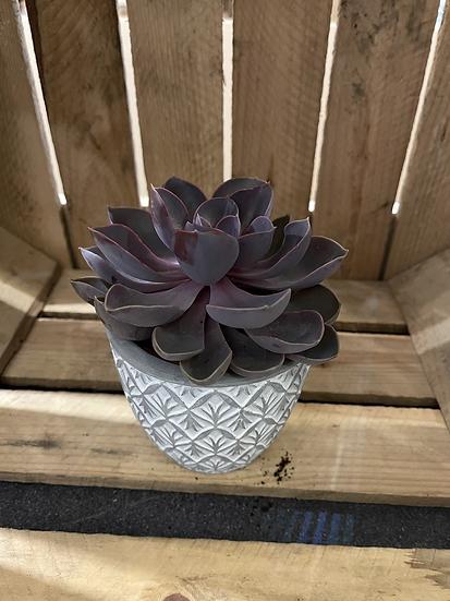 Succulent in geo concrete