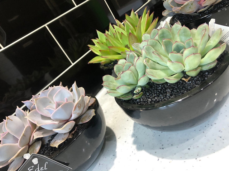Echeveria in black gloss pot