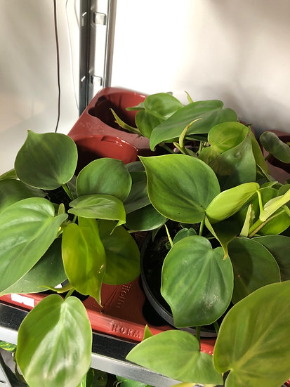 12cm philodendron