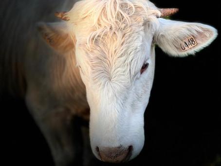 Joli portrait d'une génisse de l'élevage