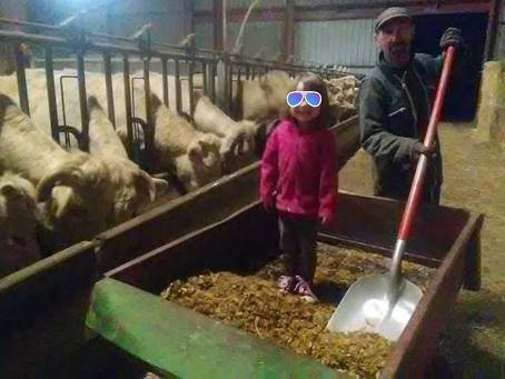 Pansage des vaches en famille